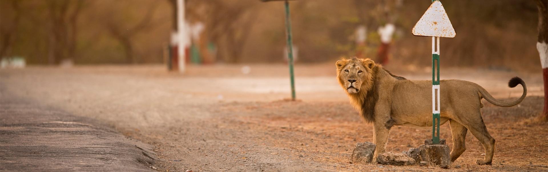 Gir Safari (SHGJ9) Banner