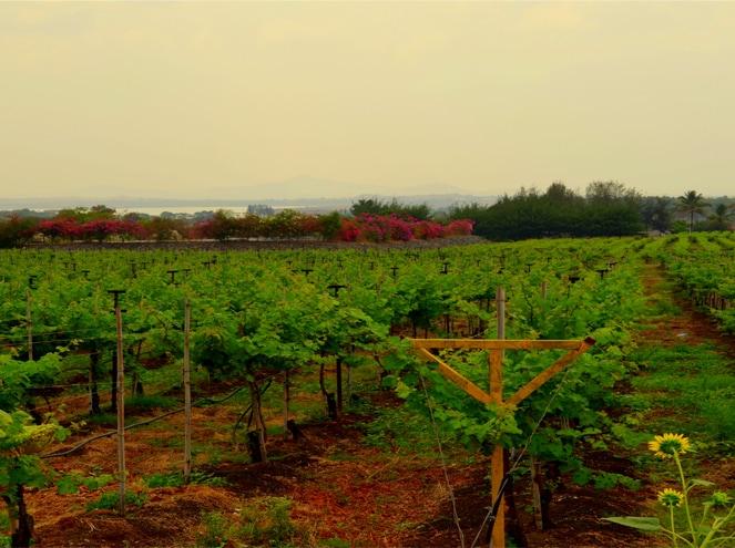 Nashik Wineyard