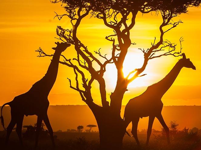 Kenya Giraffe