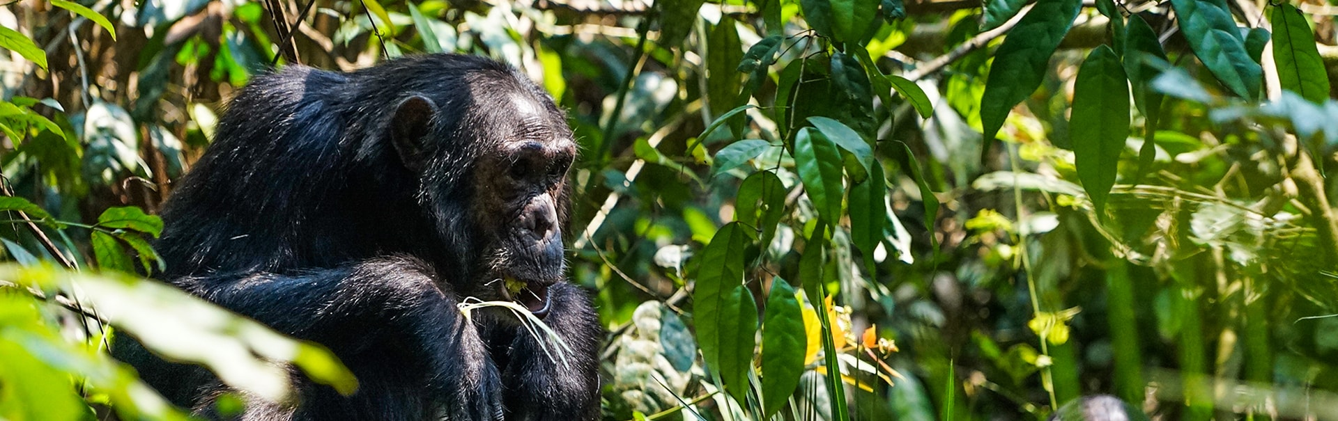 Gorilla and Chimpanzee Trek in Uganda (SHUG1) Banner