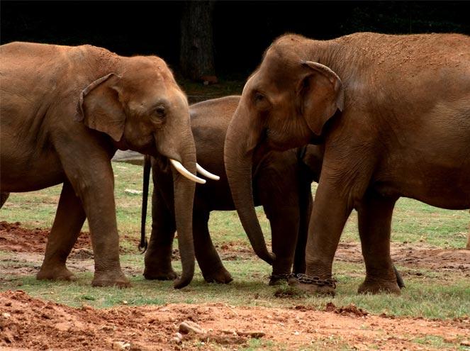 Elephant Orphanage at Pinnawela