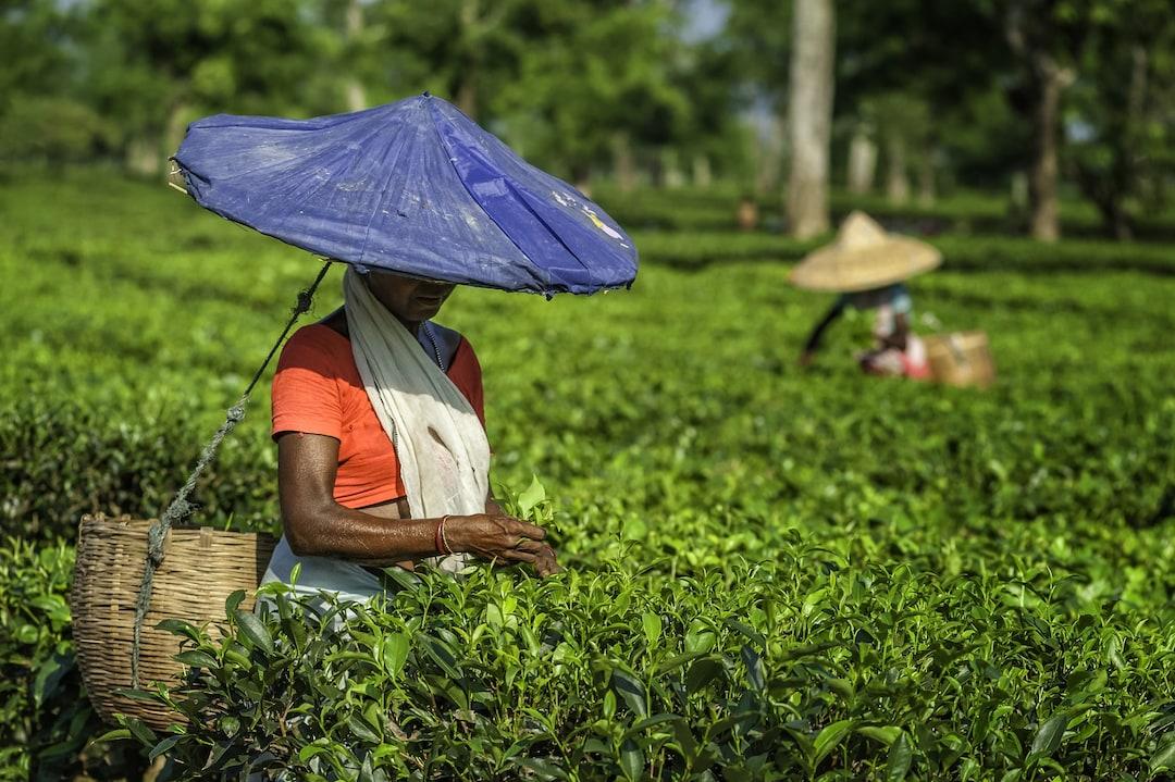 Tea Gardens at Darjeeling