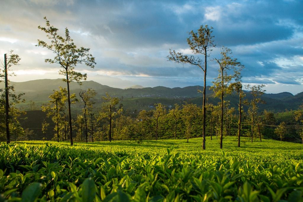 View Of The Tea Fields Sinnadorai