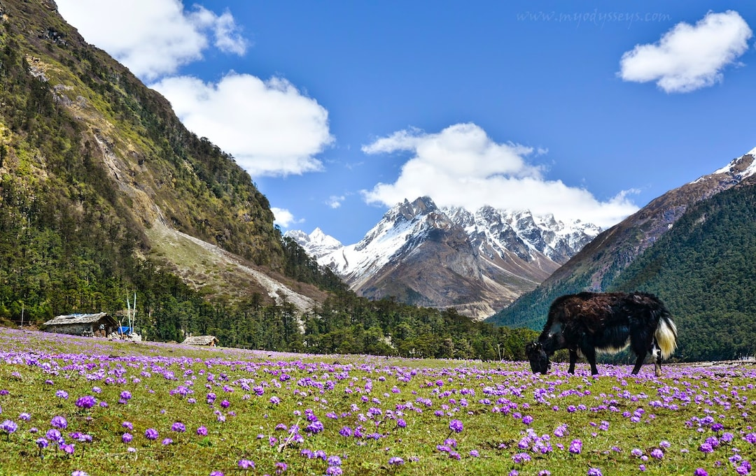 Yumthang Flower Valley