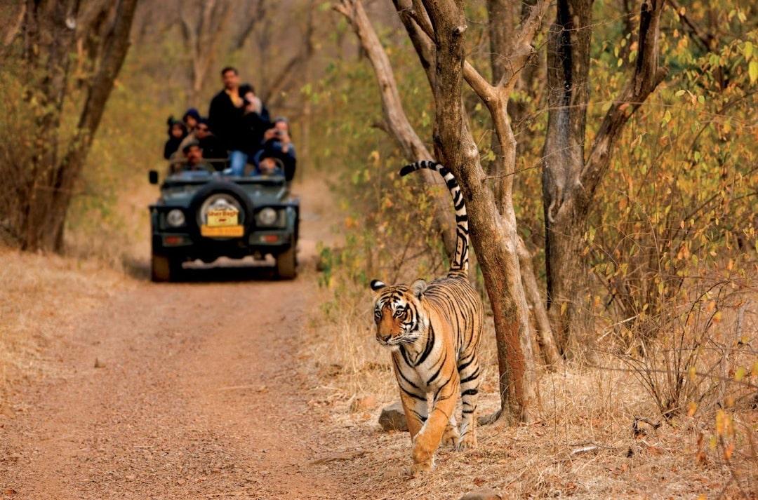 Tiger sighting at Ranthambore