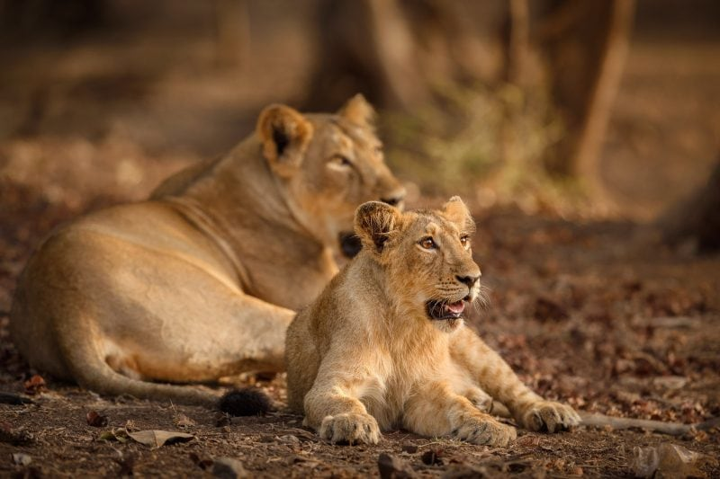 Gir National Park Gujarat How To Reach Information Timing